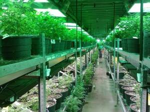 Growing or possessing marijuana for recreational purposes in California.